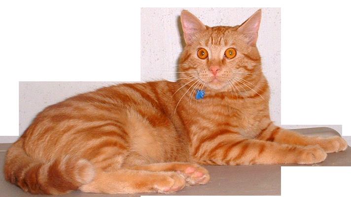 Simon Red Tabby Cat